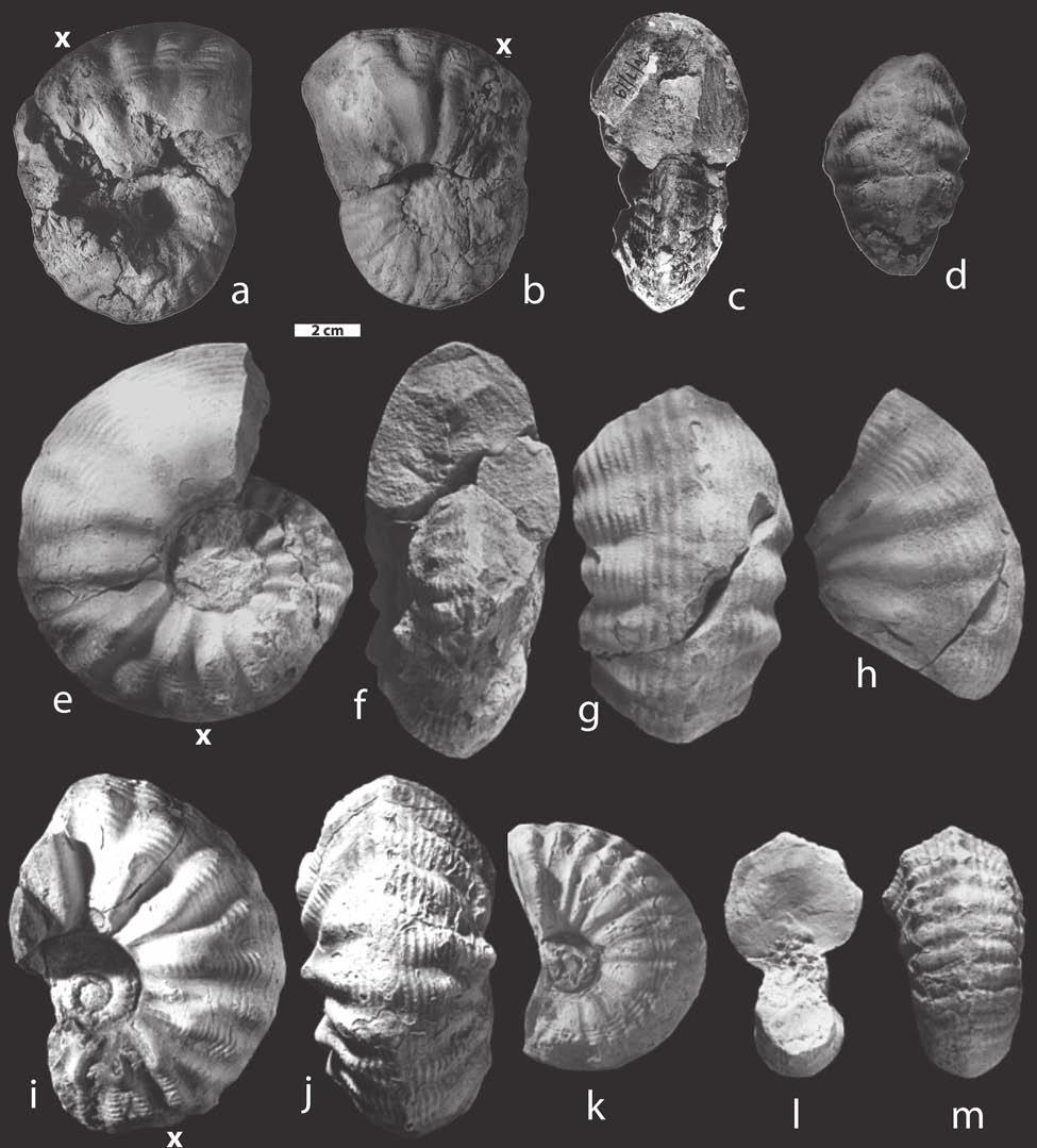 Occurrences, age and paleobiogeography of rare genera Phlycticeras and Pachyerymnoceras 131 Fig. 12. Phlycticeras polygonium (Zieten) [M]. a-d var. nodosum [M] (present study), specimen no.