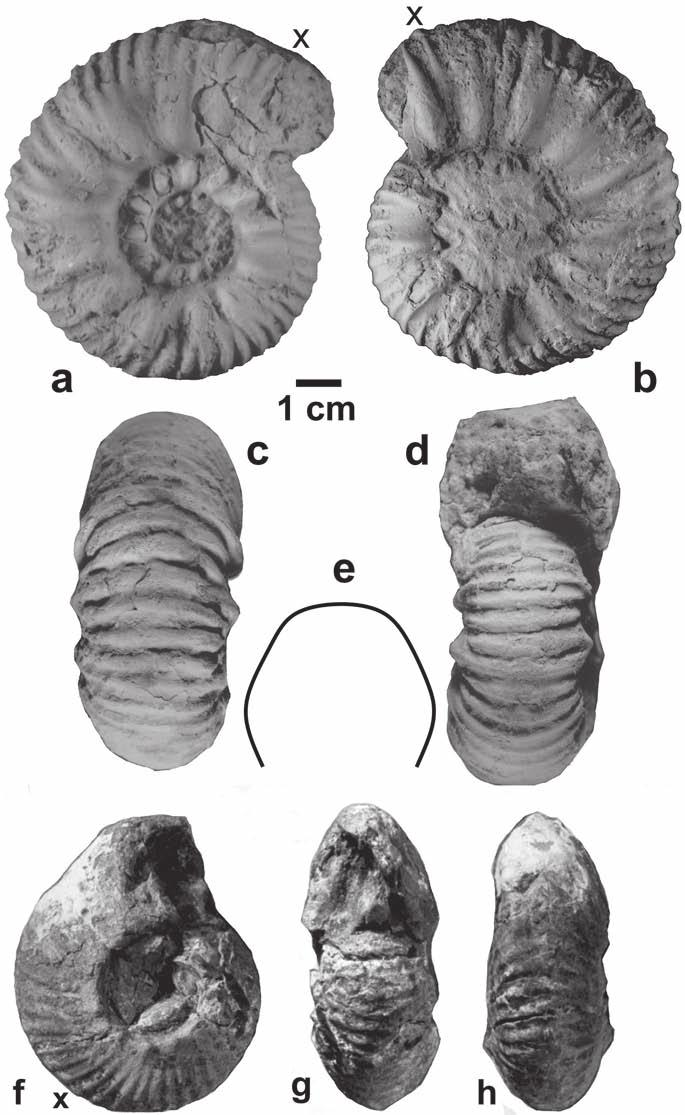Occurrences, age and paleobiogeography of rare genera Phlycticeras and Pachyerymnoceras 141 Fig. 20. Pachyerymnoceras mahipati nov