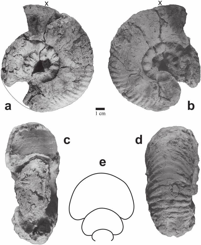 Occurrences, age and paleobiogeography of rare genera Phlycticeras and Pachyerymnoceras 143 Fig. 22. Pachyerymnoceras sp. A [M], Jumara, Kachchh, specimen no.
