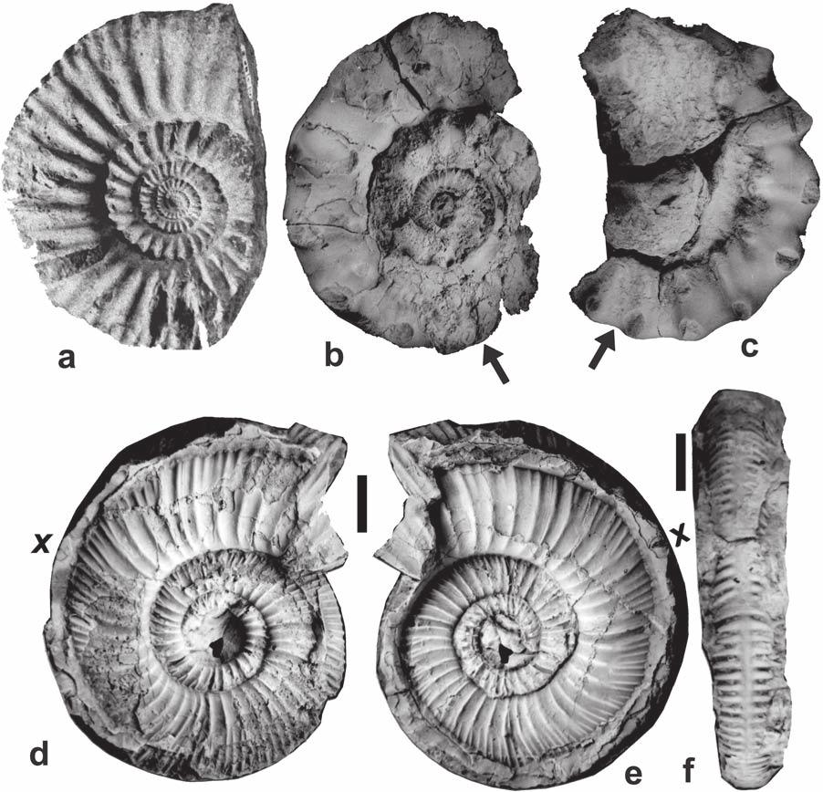 144 S. Jain Fig. 23. a Orionoides anguinus Spath (bed D1; Jumara), b-c Peltoceras (P.) athleta (Phillips) (bed D1; Jumara), d-f Collotia fraasi (Oppel) from the Jara Dome at 190 m (see Fig. 2b).